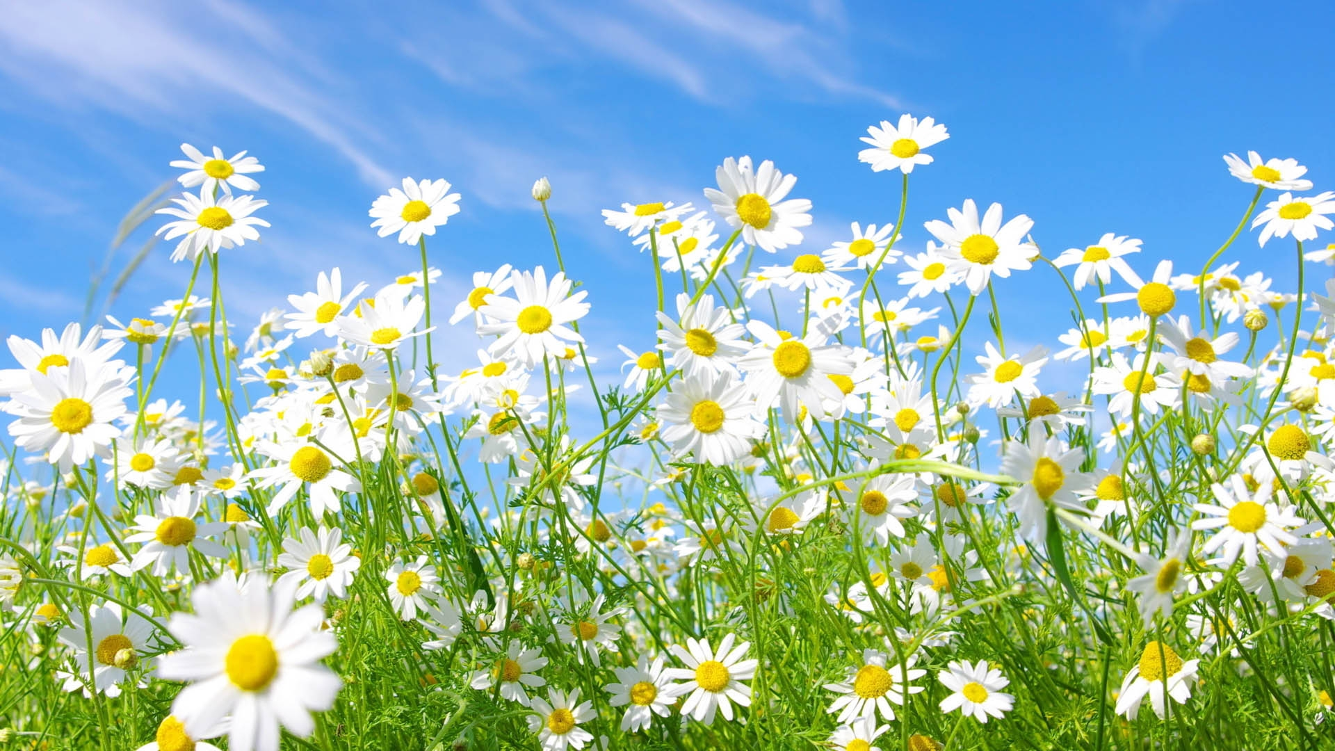 grass field background with flowers. Get The Latest Flowers, Daisies, Field News, Pictures And Videos Learn All About From Wallpapers4u.org, Your Wallpaper News Grass Background With Flowers
