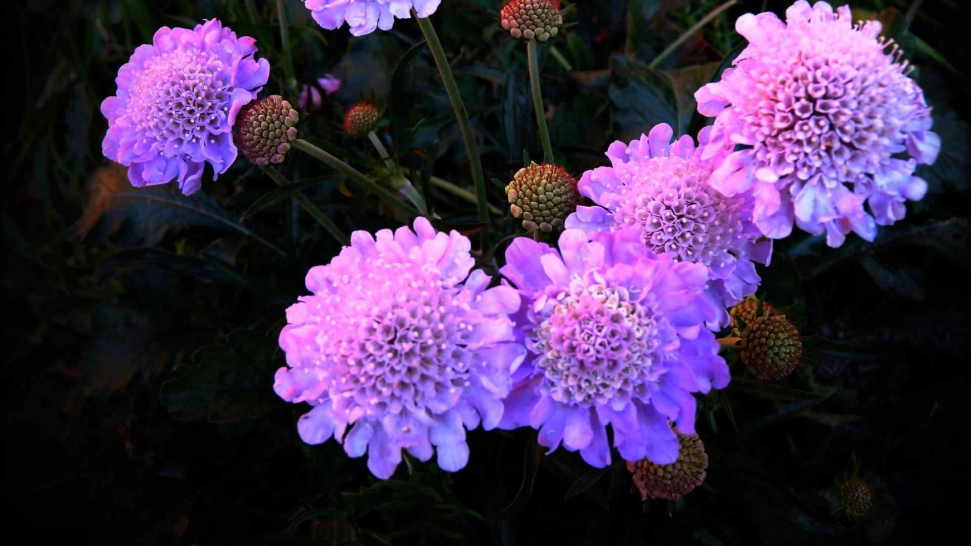Fantastic Wallpaper Night Flower - flowers_purple_night_flowerbed_44436_1920x1080  Trends-758847.jpg