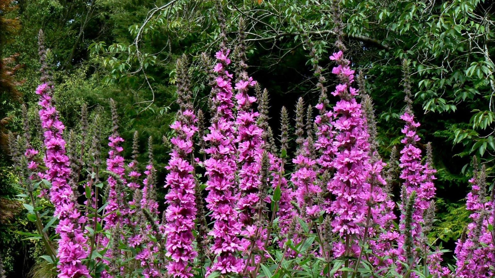 Tall flowers flower inspiration for Tall flowering shrubs