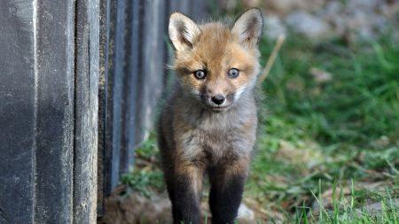 fox, baby, grass