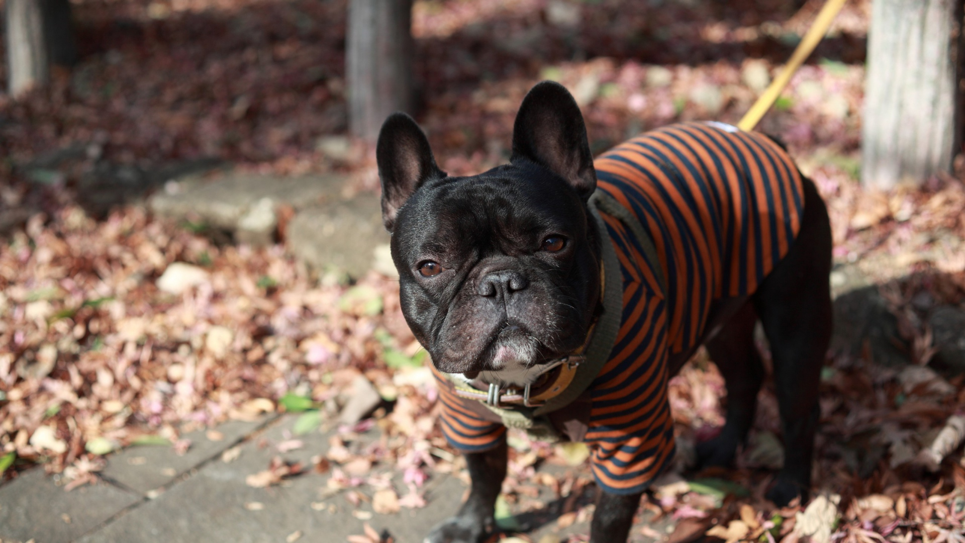 Earnings Disclaimer >> Download Wallpaper 1920x1080 french bulldog, dog, street ...