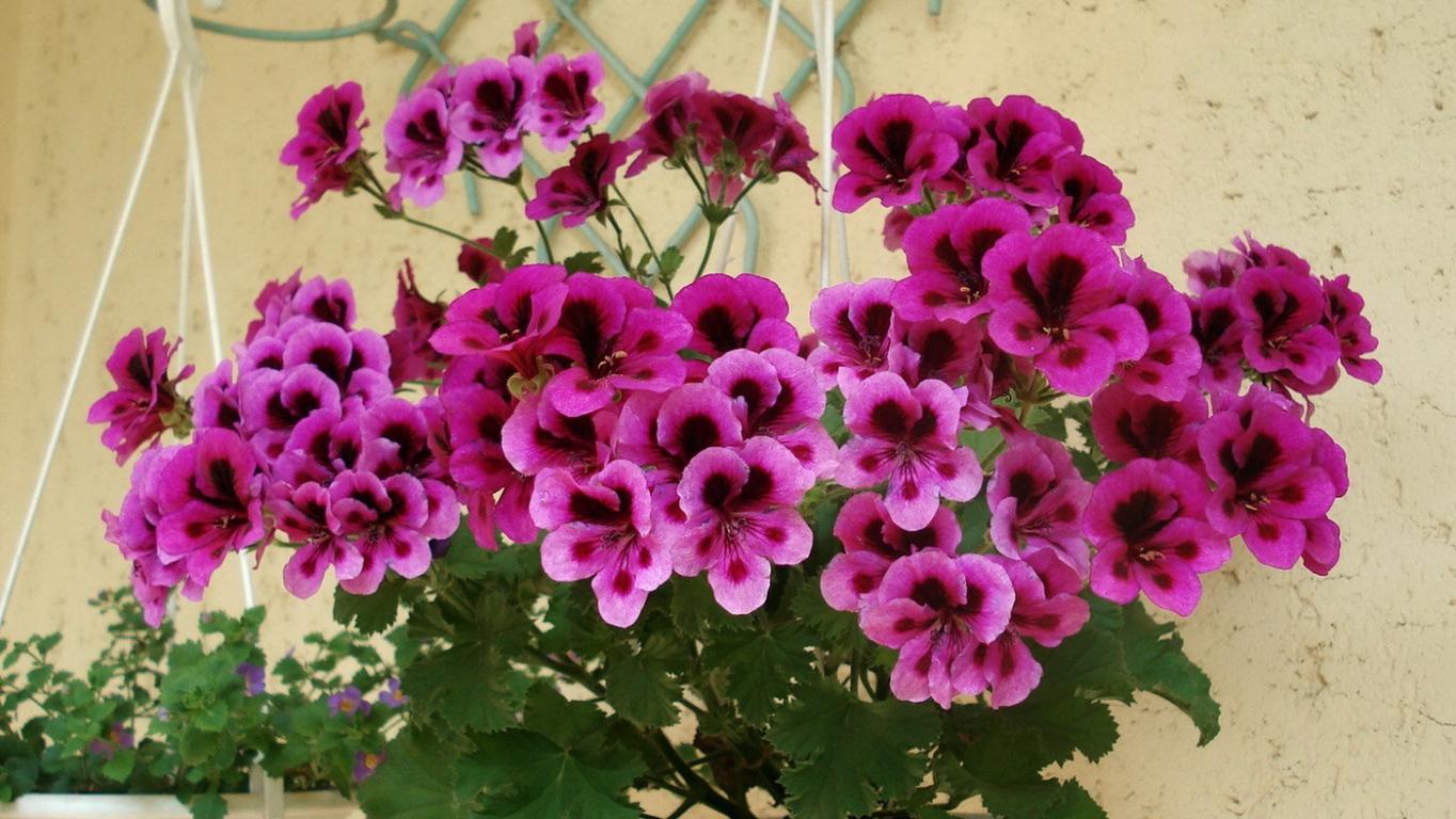 Цветок похож на герань фото