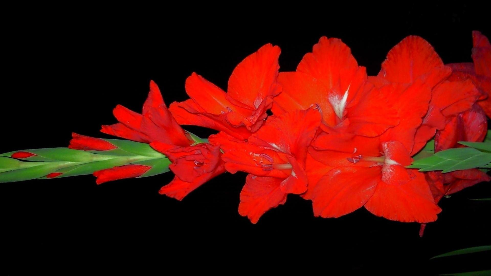 Download Wallpaper 1920x1080 gladiolus, flower, bright, black ...