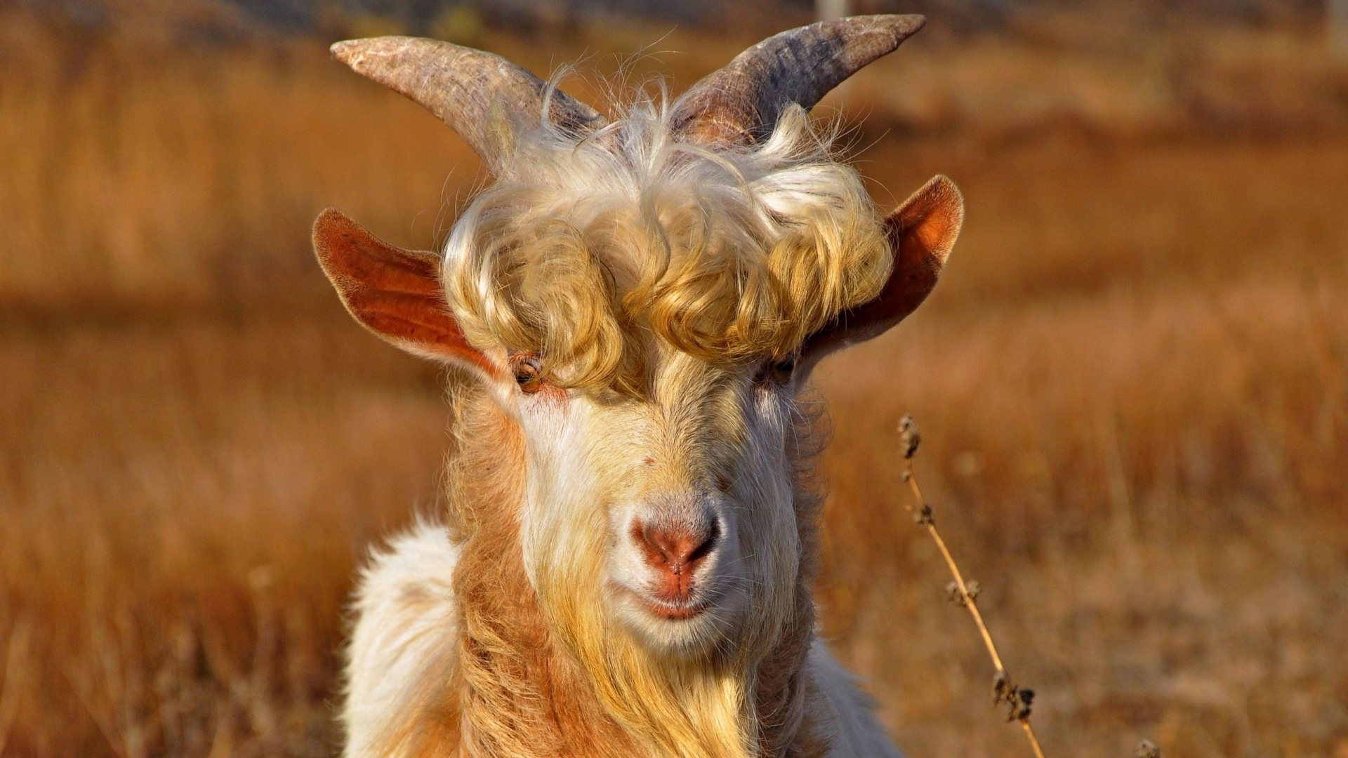 goats hair Goatee refers to a style of facial hair incorporating hair on a man's chin, so named because of some similarity to a goat's facial feature feral goats main article: feral goat.