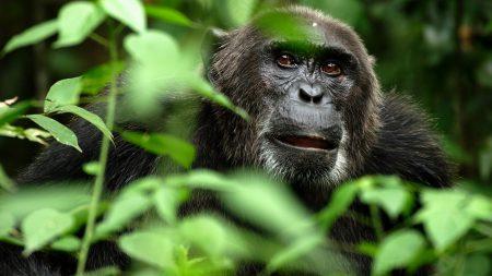 gorilla, monkey, grass