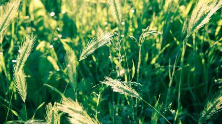 grass, spikes, wind