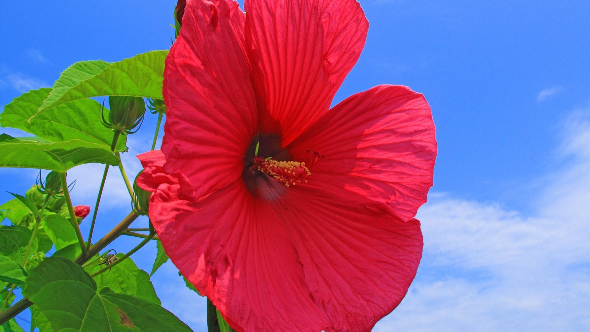download wallpaper 1920x1080 hibiscus, red, bright, sky, clouds, sun