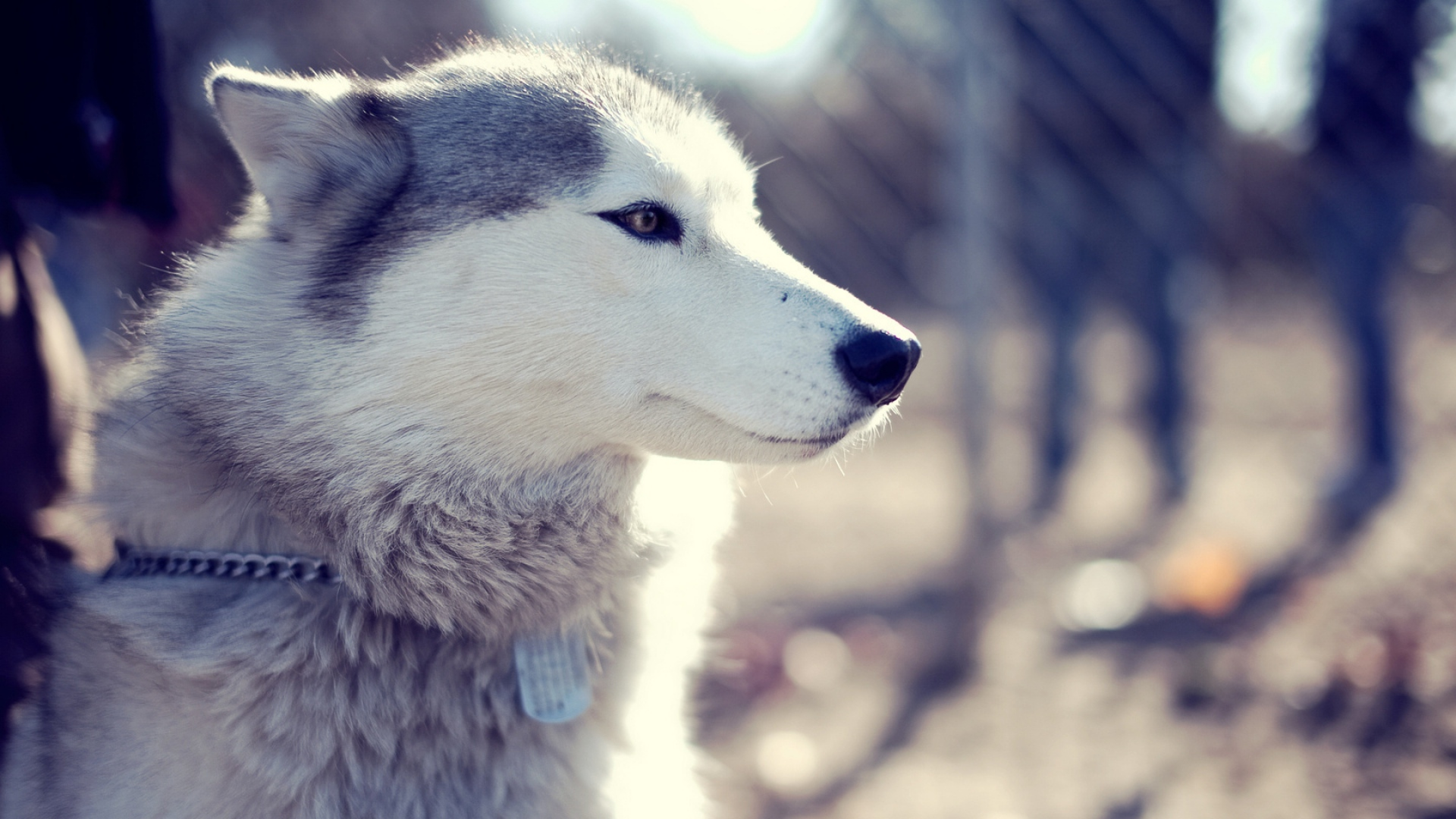 Download Wallpaper 1920x1080 Husky, Dog, Muzzle, Blue