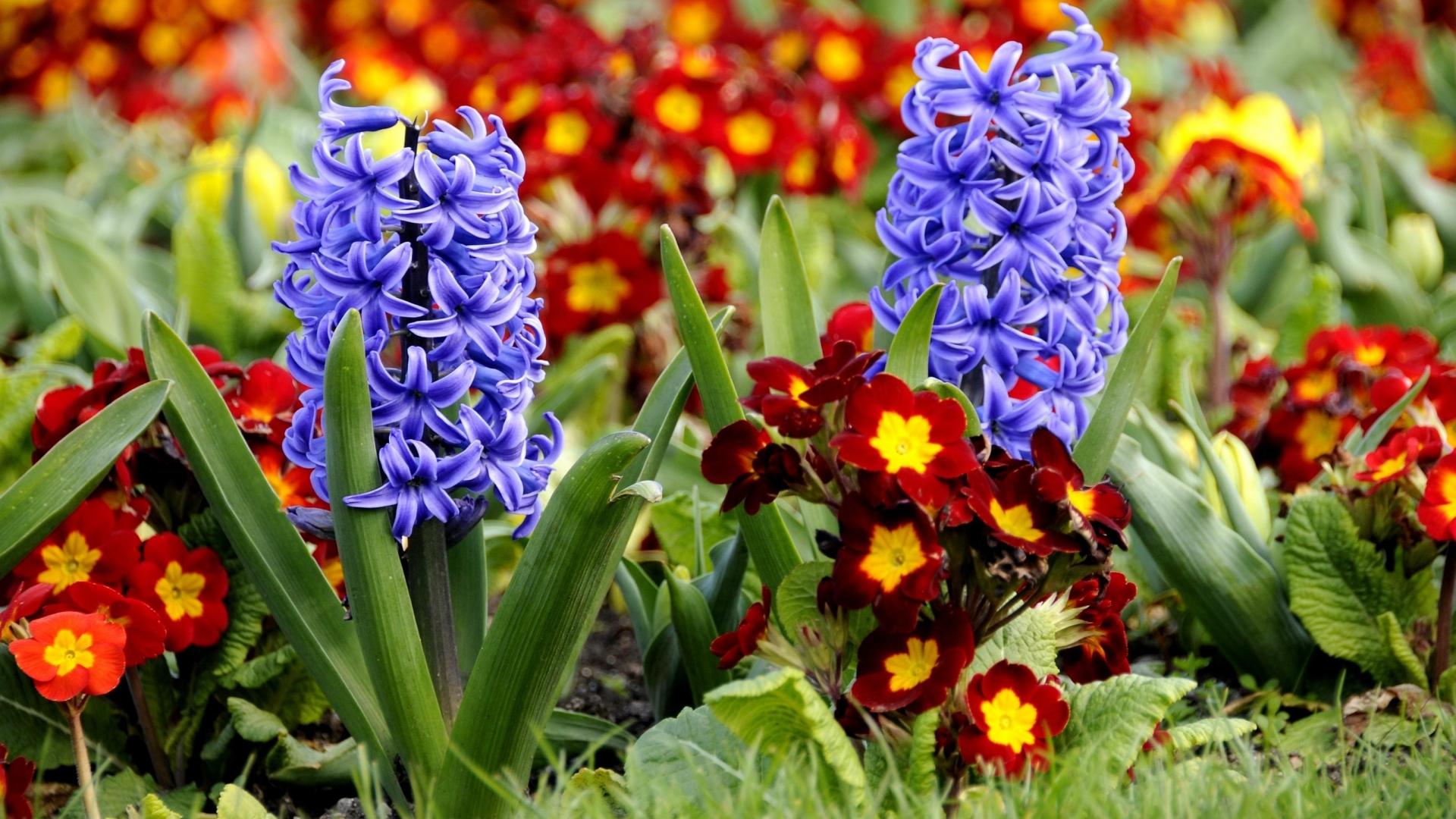 hyacinth primrose flowerbed
