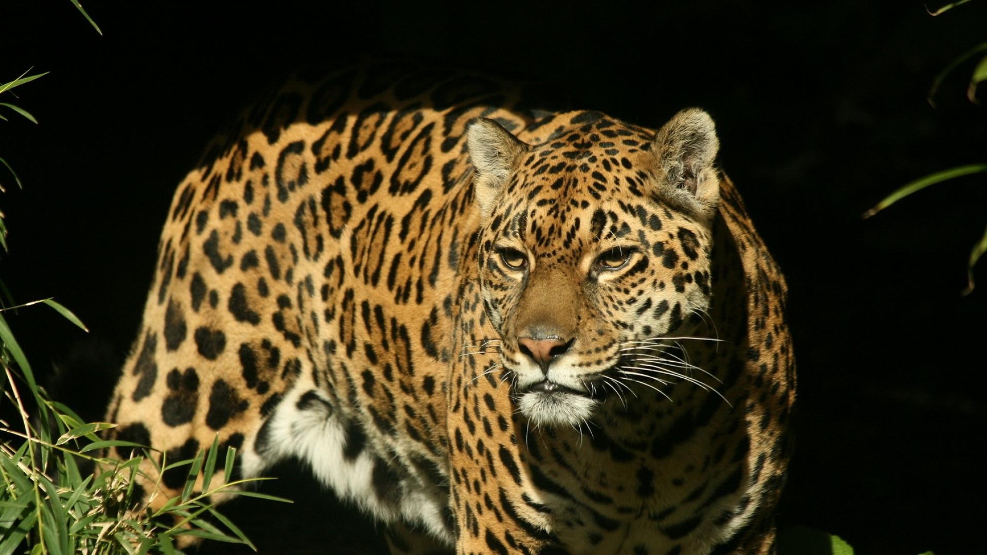 Great Wallpaper Horse High Definition - jaguar_big_cat_spotted_hunting_predator_51092_1920x1080  Gallery_4350.jpg