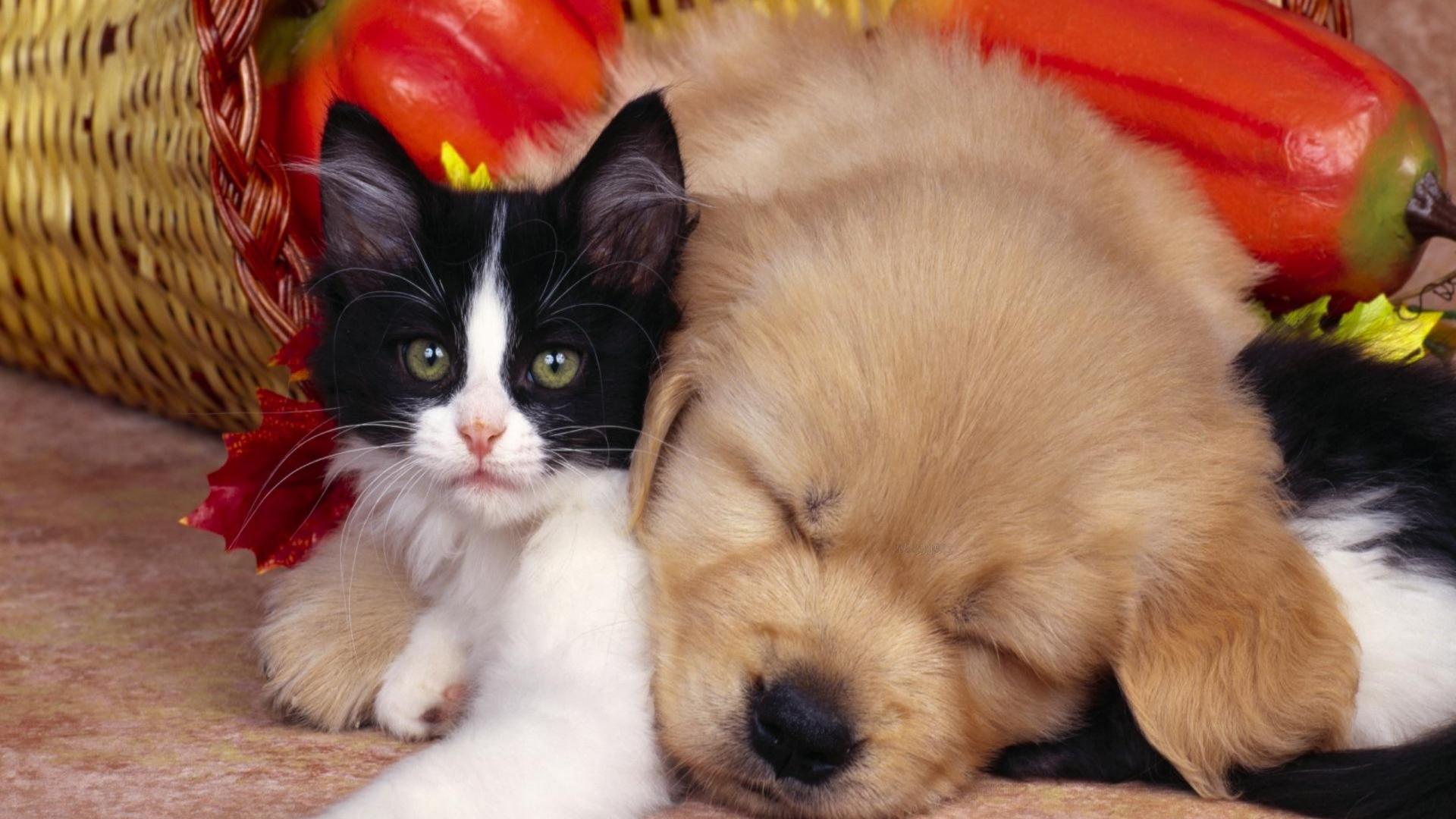 download wallpaper 1920x1080 kitten, puppy, sleep, couple, friends