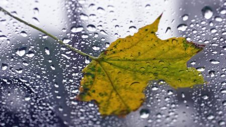 leaf, maple, drop