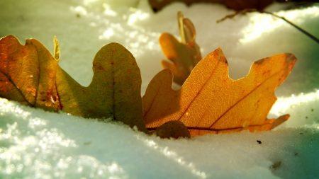 leaf, oak, autumn