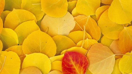 leaves, autumn, birch
