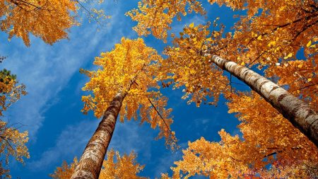 leaves, yellow, birches