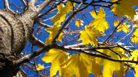 leaves, yellow, maple