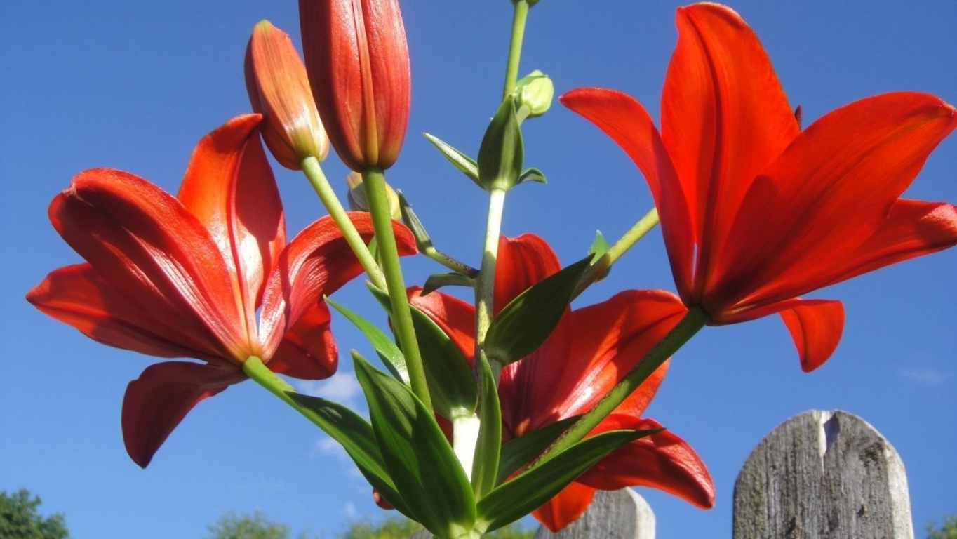 Download wallpaper lily flower bright red sky rocketing hd lily flower bright izmirmasajfo