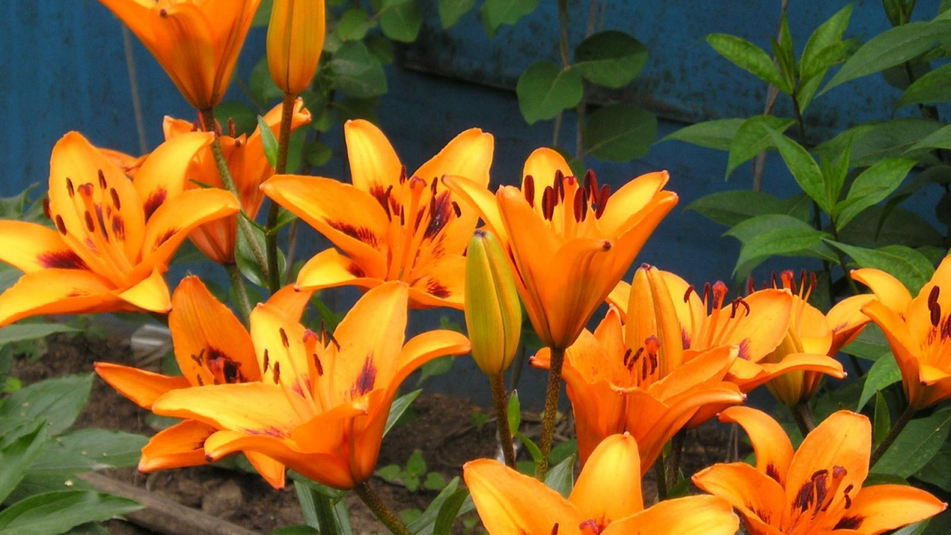 Download wallpaper 1920x1080 lily flower flowerbed park green get the latest lily flower flowerbed news pictures and videos and learn all about lily flower flowerbed from wallpapers4u your wallpaper news izmirmasajfo