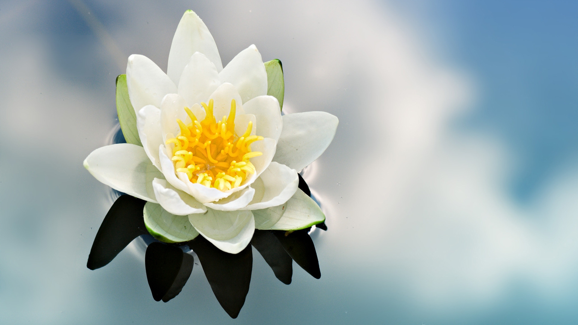 Download wallpaper 1920x1080 lily flower petals water reflection get the latest lily flower petals news pictures and videos and learn all about lily flower petals from wallpapers4u your wallpaper news source izmirmasajfo