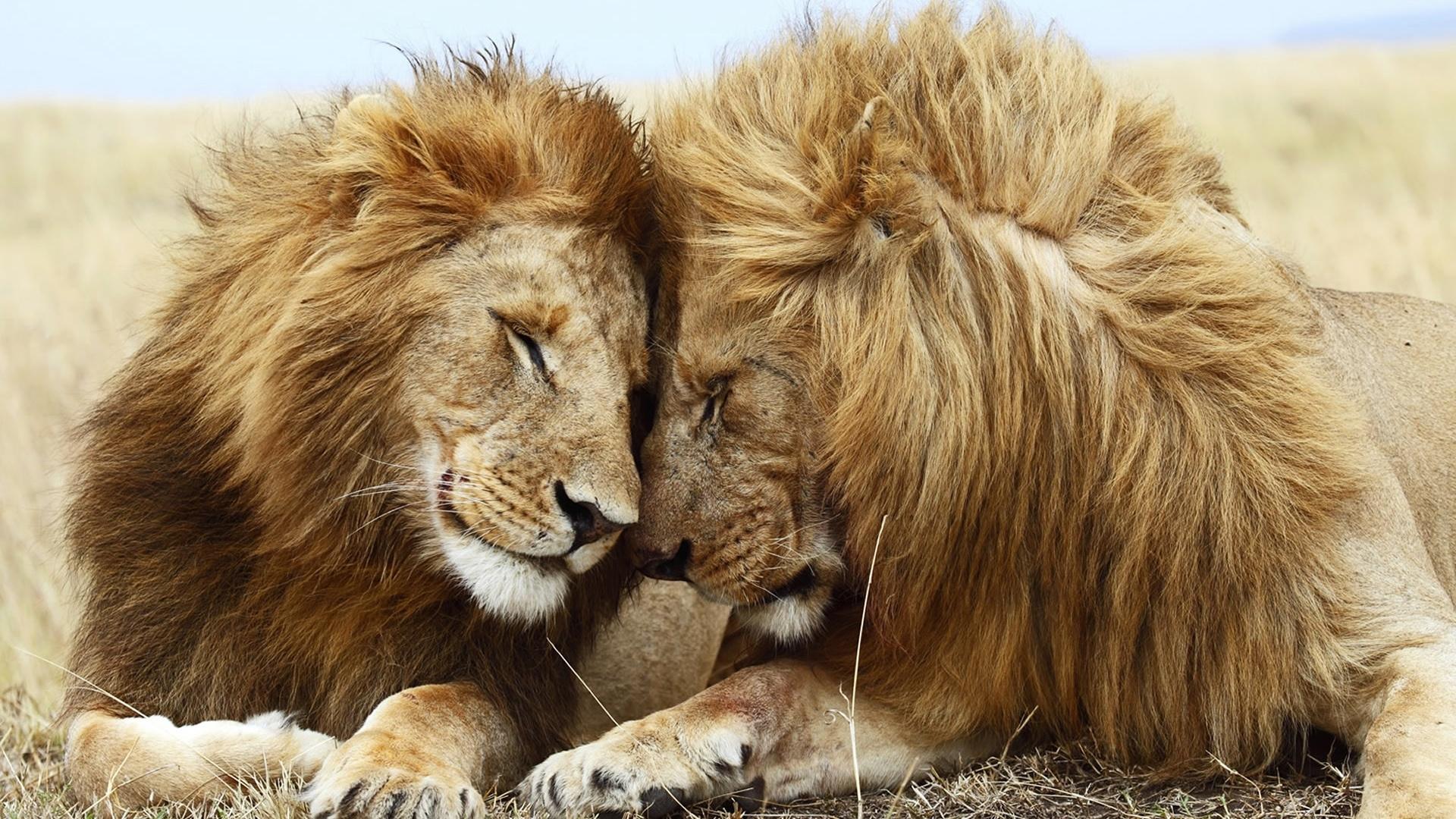 download wallpaper 1920x1080 lion, cat, couple, mane, rest full hd