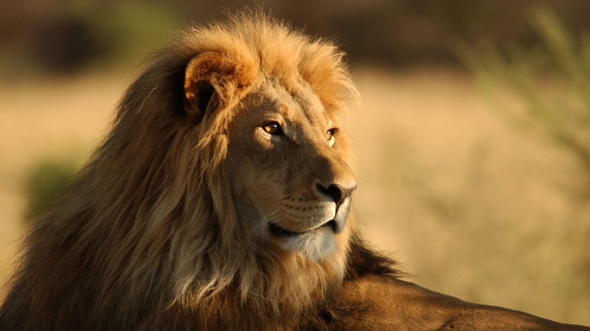download wallpaper 1920x1080 lion, face, mane, coat, profile full hd