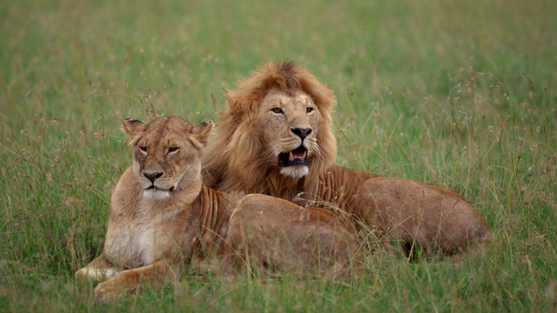 Download Wallpaper 1920x1080 Lion Lioness Grass Couple Lying
