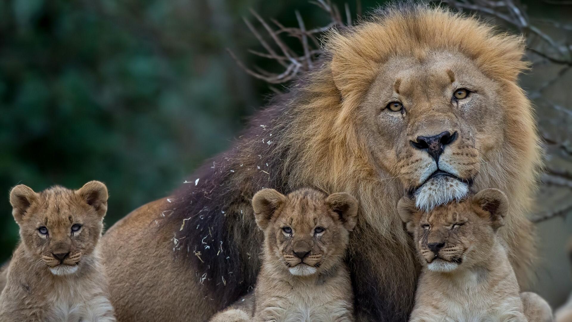 download wallpaper 1920x1080 lion, lioness, young, family, predators