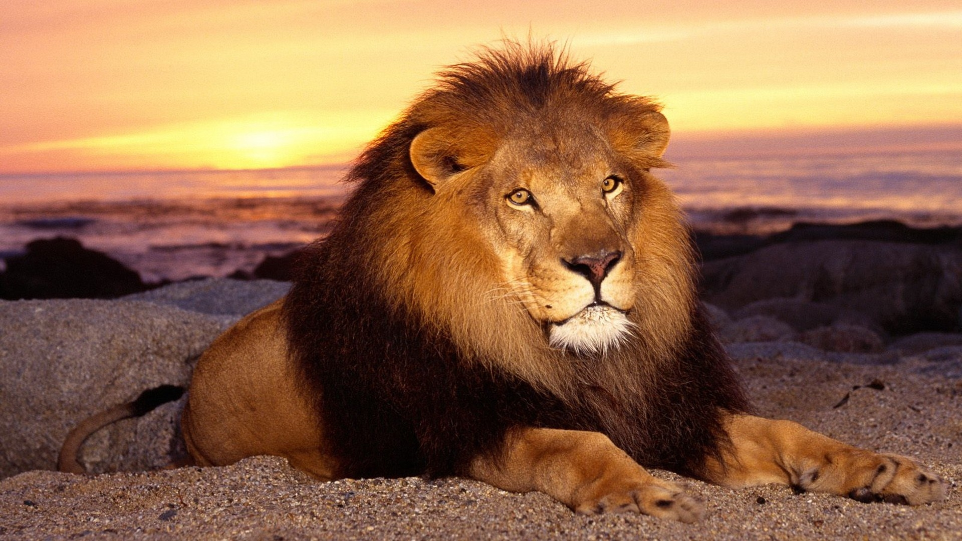 download wallpaper 1920x1080 lion, mane, sand, sunset, lie full hd