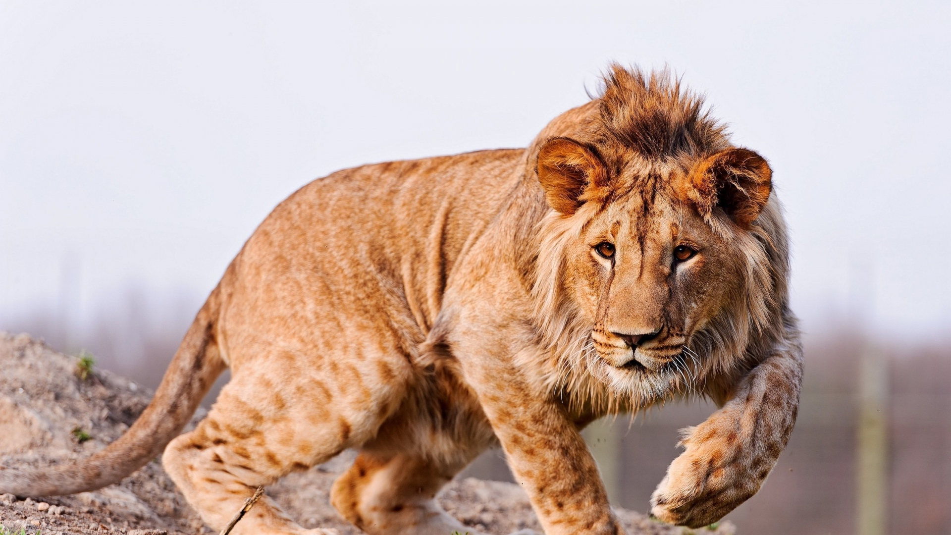 download wallpaper 1920x1080 lion, predator, big cat, grass full hd