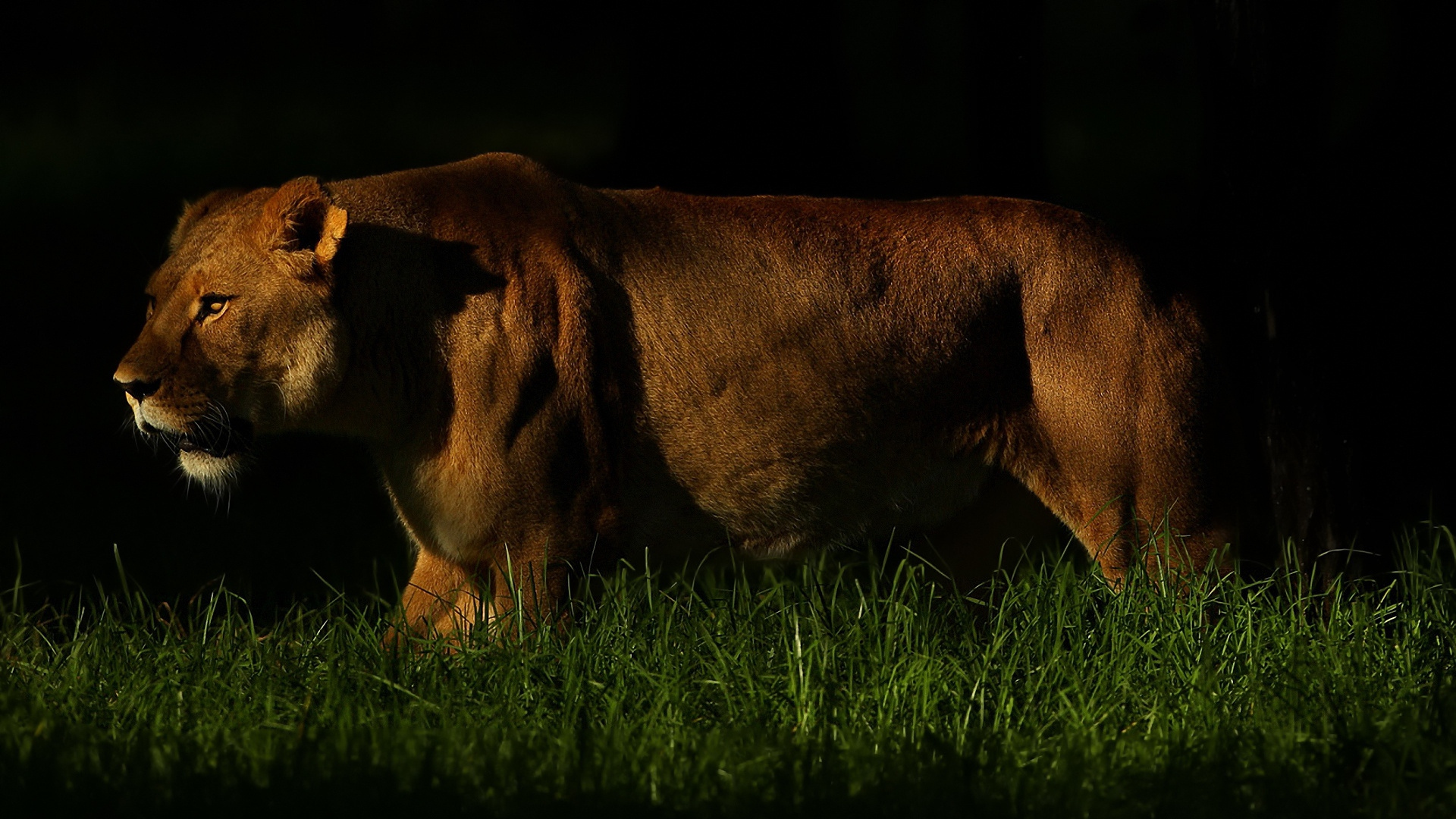 Simple Wallpaper Night Lion - lion_shadow_dark_grass_walking_hunting_predator_59653_1920x1080  You Should Have-631563.jpg