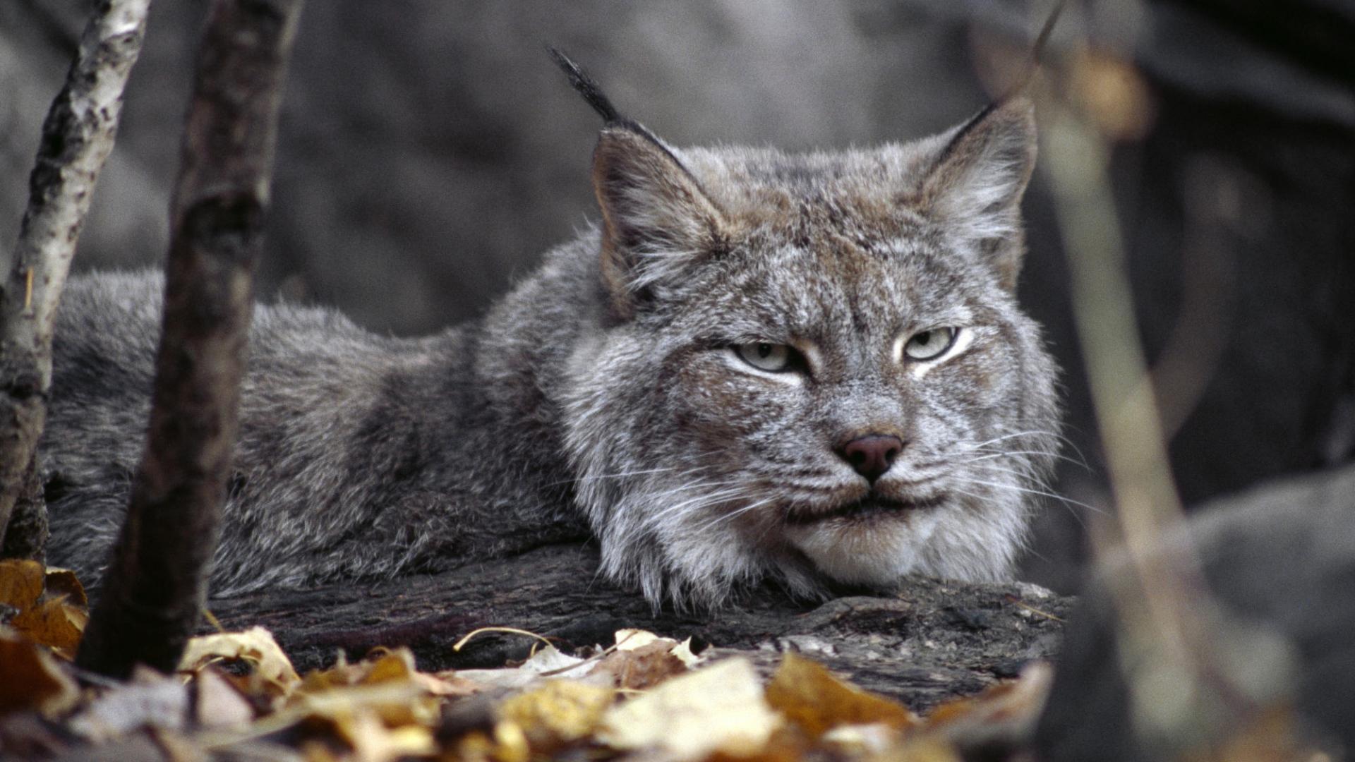 cat lynx autumn foliage - photo #37