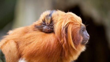 monkey, fluffy, muzzle