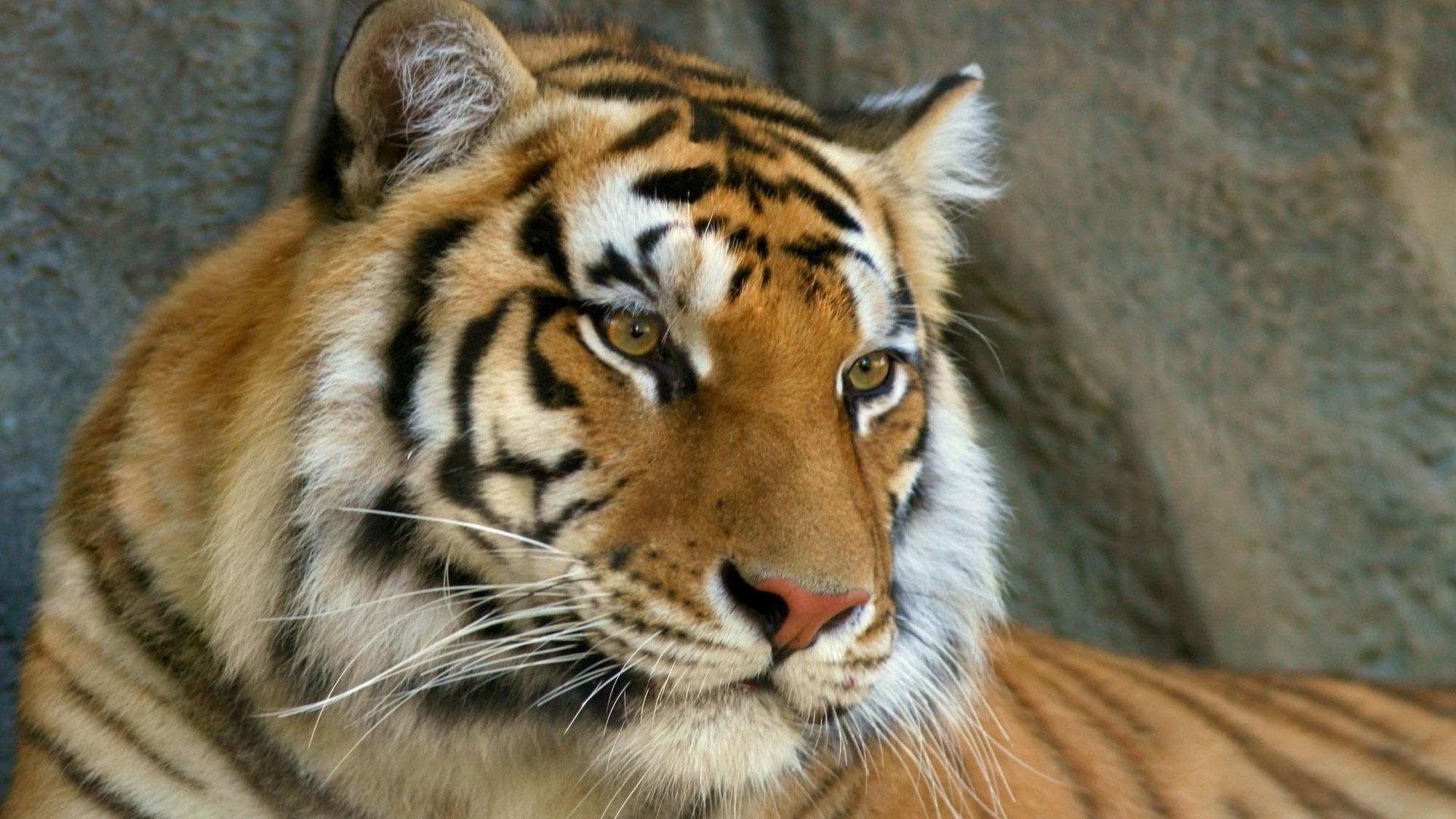 картинка тигр и дракон