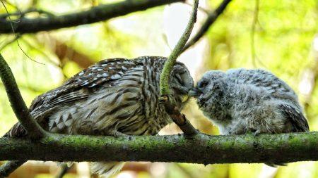 owl, couple, affection