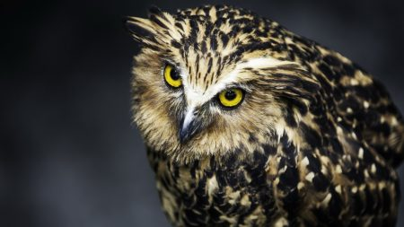 owl, face, feathers