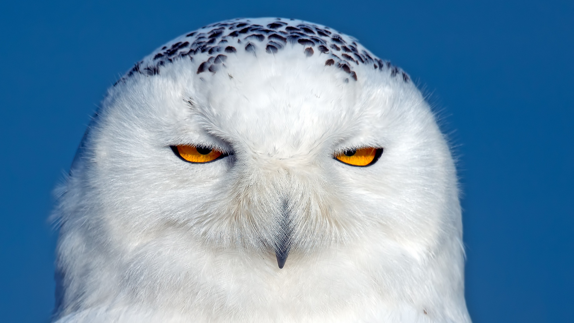 snowy owl The snowy owl is legally protected from shooting and trapping (2) (6), and in europe it is protected under the convention on the conservation of european wildlife and natural habitats.