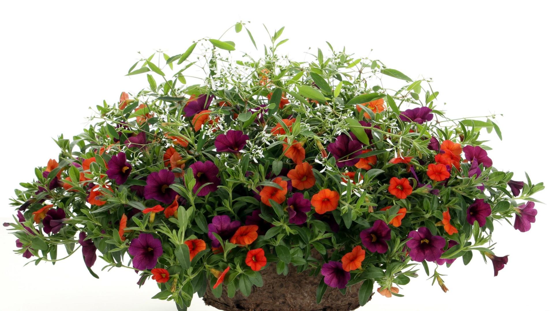 Download Wallpaper petunia bright flowers pots white
