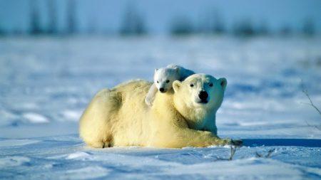 polar bear, bear, couple