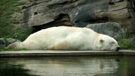 polar bear, bear, lie down