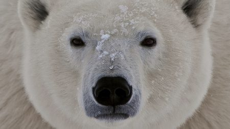 polar bear, face, fat