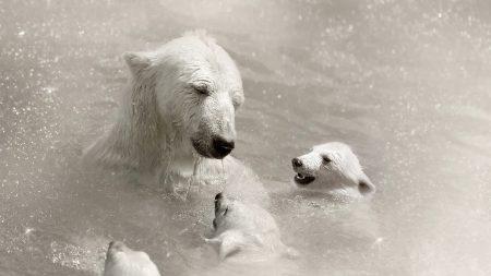 polar bears, cubs, caring