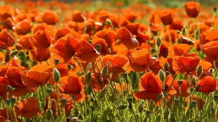 poppies, field, summer