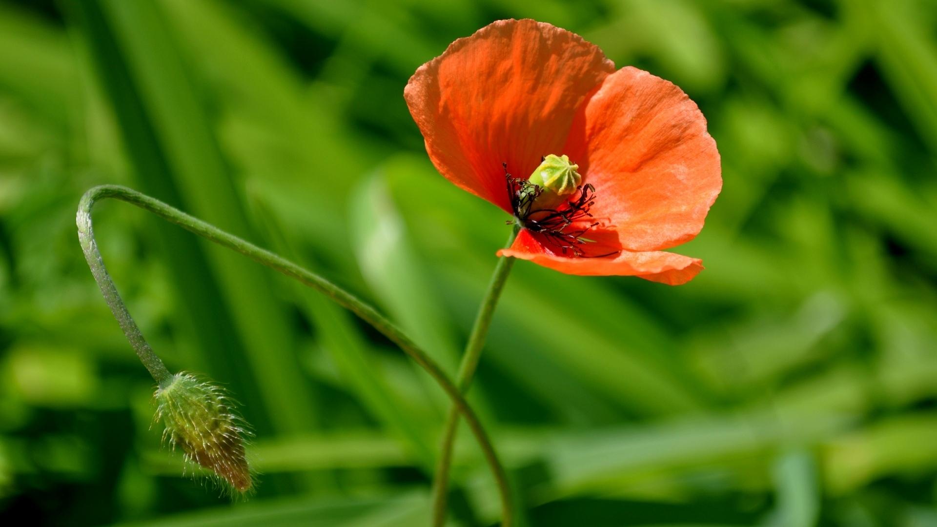 Download Wallpaper 1920x1080 Poppy Flower Bright Fresh Herbs Full