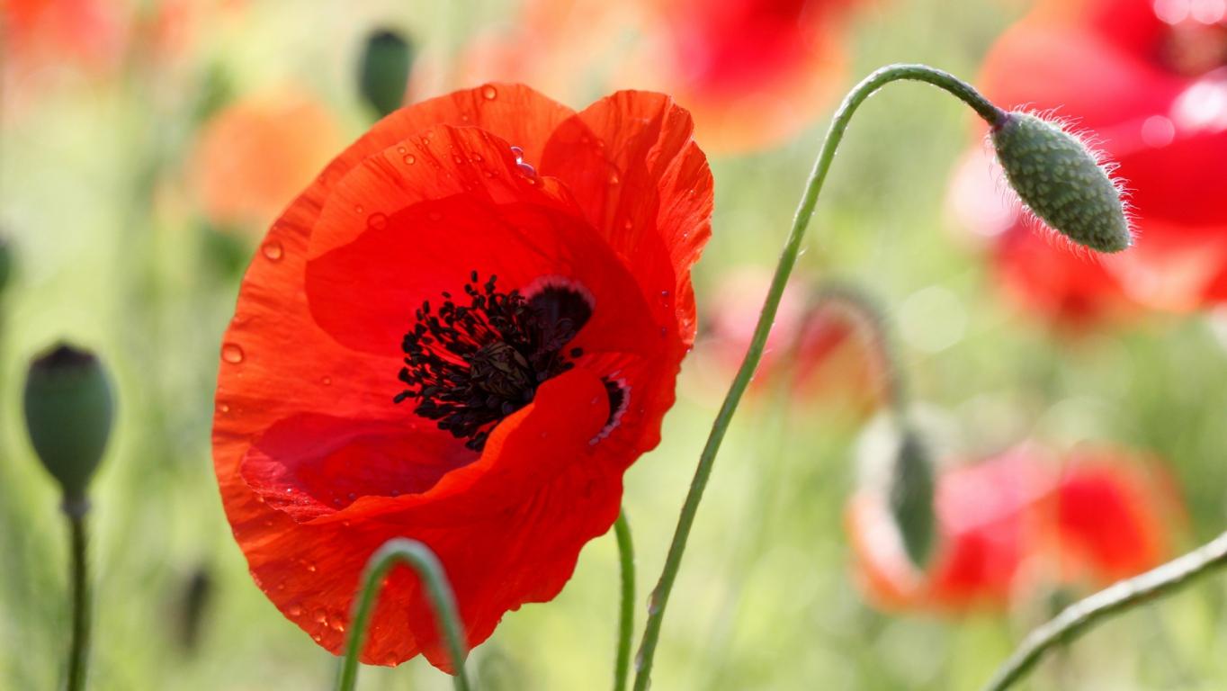 Download Wallpaper Poppy Flower Bud Stamens Field Blur Hd