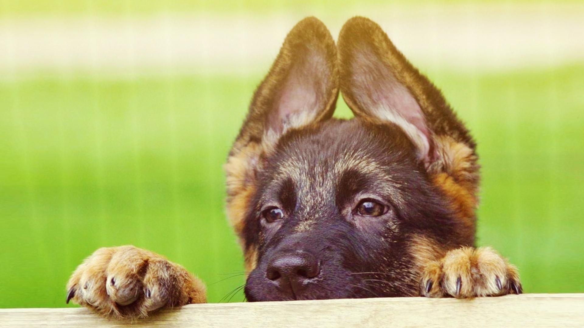 Download Wallpaper puppy face ears cute Full HD 1080p