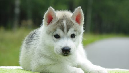 bear sad down puppy sad dog puppy husky down HD Wide Wallpaper for Widescreen