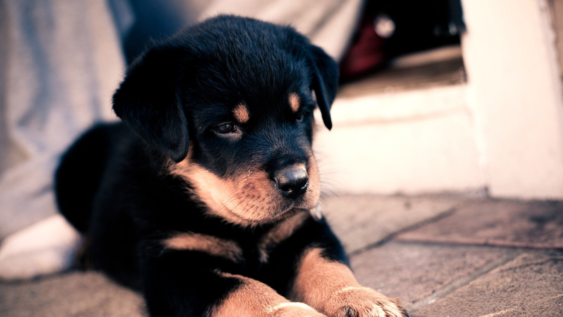 Download Saint Bernards Anime Adorable Dog - puppy_rottweiler_cute_baby_56168_1920x1080  Pictures_69130  .jpg