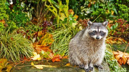 raccoon, grass, autumn