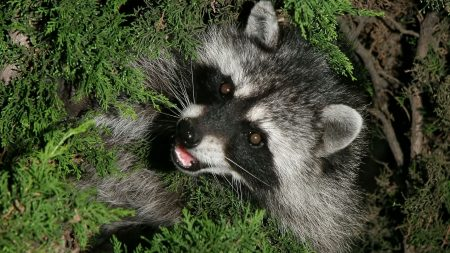 Earnings Disclaimer >> Download Wallpaper 1920x1080 raccoon, top view, green, grass Full HD 1080p HD Background