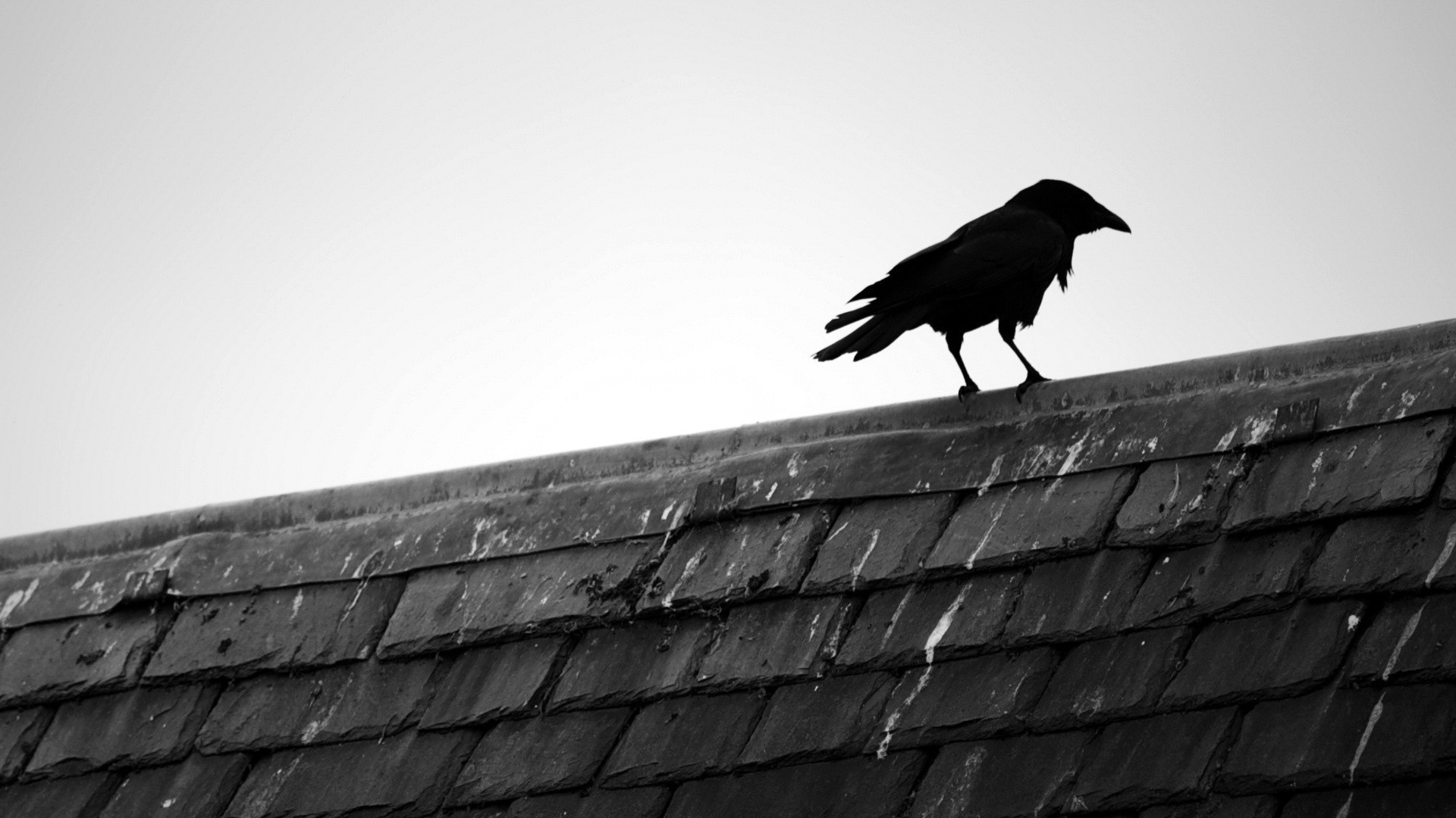 Get The Latest Raven Bird Roof News Pictures And Videos Learn All About From Wallpapers4uorg Your Wallpaper Source